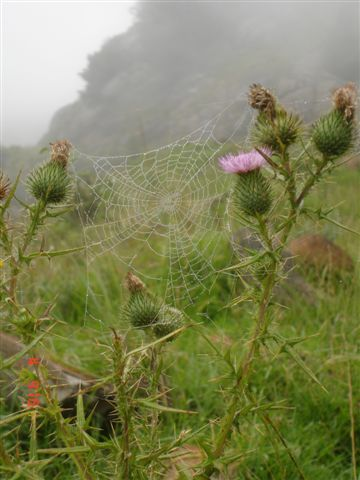 thistled-spider-web